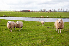 Sheep in the countryside from Netherlands. Sheep in the countryside from the Netherlands in spring Stock Photos