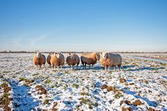 Sheep in the countryside from the Netherlands. In winter Royalty Free Stock Image