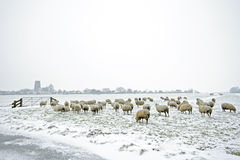 Sheep in the Netherlands in winter Royalty Free Stock Photo