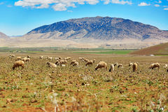 Sheep in the countryside, Northern Morocco Stock Photo