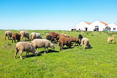 Sheep in the countryside from Portugal Royalty Free Stock Images