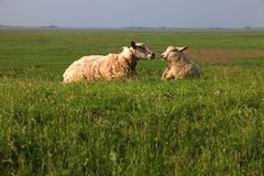 Sheep couple Stock Image