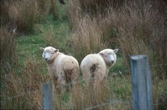 Sheep couple. New Zealand sheep couple in the meadow Royalty Free Stock Image