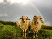 Sheep couple in a field in front of a beautiful rainbow, pilgrimage route Saint James Way, Northern coast of Spain stock images