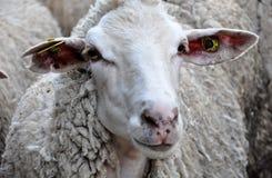 Sheep, Cow Goat Family, Fauna, Horn Stock Photos