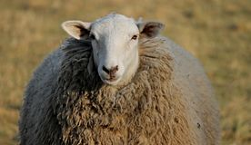 Sheep, Cow Goat Family, Herd, Livestock royalty free stock image