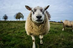 Sheep, Cow Goat Family, Pasture, Grass stock photography