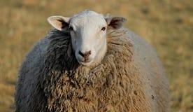 Sheep, Cow Goat Family, Terrestrial Animal, Livestock stock photography