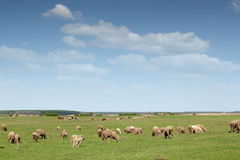 Sheep and cows Stock Image