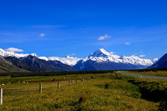 Sheep and Cows Grazing With Mount Cook in the Background Royalty Free Stock Image