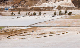 Sheep and cows on pasture covered with snow Royalty Free Stock Photos