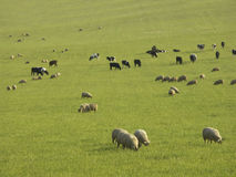 Sheep and cows on a pasture Stock Photos