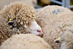 Sheep cramped inside a farm. Sheep are staying cramped inside a pen in a sheep farm stock image