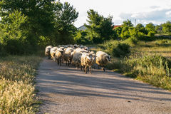 Sheep in Croatia Stock Images