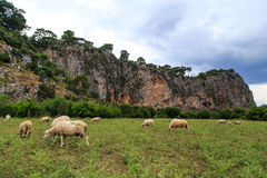 Sheep Cropping in Meadow Royalty Free Stock Photos