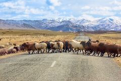 Sheep cross the road stock image