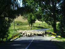 Sheep crossing country road. Shepard and sheep crossing a country road Royalty Free Stock Photography