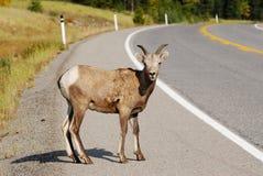 Sheep crossing road Stock Image
