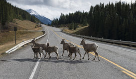 Sheep crossing the road. A herd of Rockie Mountain Bighorn sheep cross the road near Banff National Park, Alberta, Canada Stock Photo