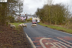 Sheep Crossing The Road Stock Images