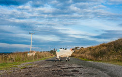 Sheep crossing the road Royalty Free Stock Photography