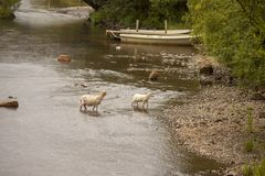 Sheep crossing a stream in North Wales. Sheep crossing a shallow stream, boats and a bridge in the background. Taken in Gwynedd near Llanberis, Snowdonia royalty free stock image