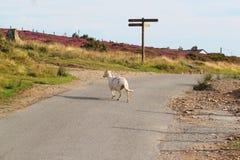 Sheep at crossroads. Stock Image