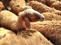 Sheep in a crowd Stock Photography
