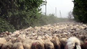 Sheep Crowd stock video