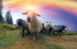 Sheep crown Royalty Free Stock Photo