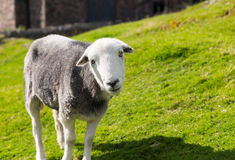 Sheep curious stare at camera. White and black sheep stare at viewer in English Lake District stock photo