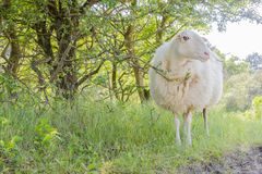 Sheep curiously looking in sunny day. Royalty Free Stock Images