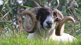 Sheep with curved horns. Closeup sheep with curved horns stock video