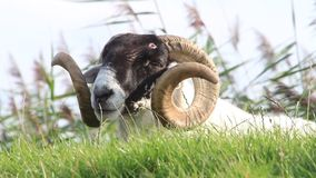 Sheep with curved horns. Closeup sheep with curved horns stock video footage
