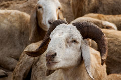 Sheep with Curved Horns Royalty Free Stock Photography