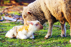 Sheep with cute little lamb on field. In spring Royalty Free Stock Photo
