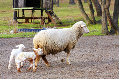 Sheep with cute little lamb on field Stock Images