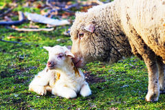 Sheep with cute little lamb on field Royalty Free Stock Images