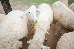 Sheep. Cute little white sheep, eating food Royalty Free Stock Image