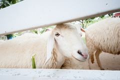 Sheep. Cute little white sheep, in the garden Stock Photos