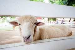Sheep. Cute little white sheep, in the garden Royalty Free Stock Image