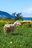 Sheep in cyprus. Sheep near Latchi Beach near Polis in Cyprus Royalty Free Stock Photography