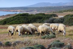 Sheep in Cyprus Stock Photo