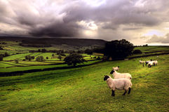 Sheep in a Dales landscape. Dalesbred sheep looking out over the hills of the Yorkshire Dales National Park near Appletreewick, as a rain storm approaches Stock Photo