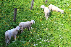 Sheep in dandelion field. Many sheep in dandelion field stock photography