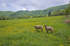 Sheep with dandelions Royalty Free Stock Photography