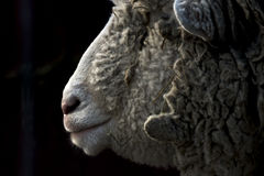Sheep in the Dark Royalty Free Stock Photography