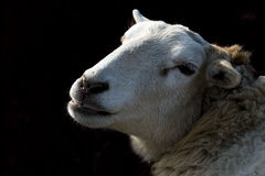 Sheep in the Dark Royalty Free Stock Photos