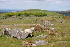 Sheep on Dartmoor Stock Image