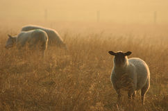 Sheep at Dawn. Sheep grazing at dawn, England Royalty Free Stock Images
